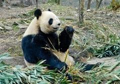 Pandaprojekt i Kina