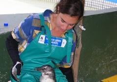 Volunteer in session caring for penguins at a shelter for rehabilitating seabirds in Cape Town, South Africa