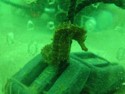 Seahorse studies