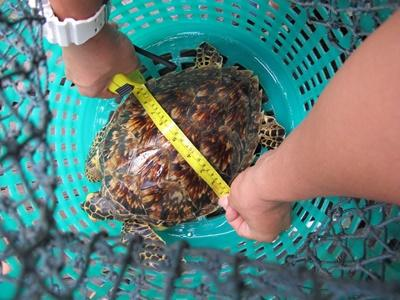 Projects Abroad Marine Conservation volunteers in Cambodia measure a Hawksbill Sea Turtle that was caught in a fishing net