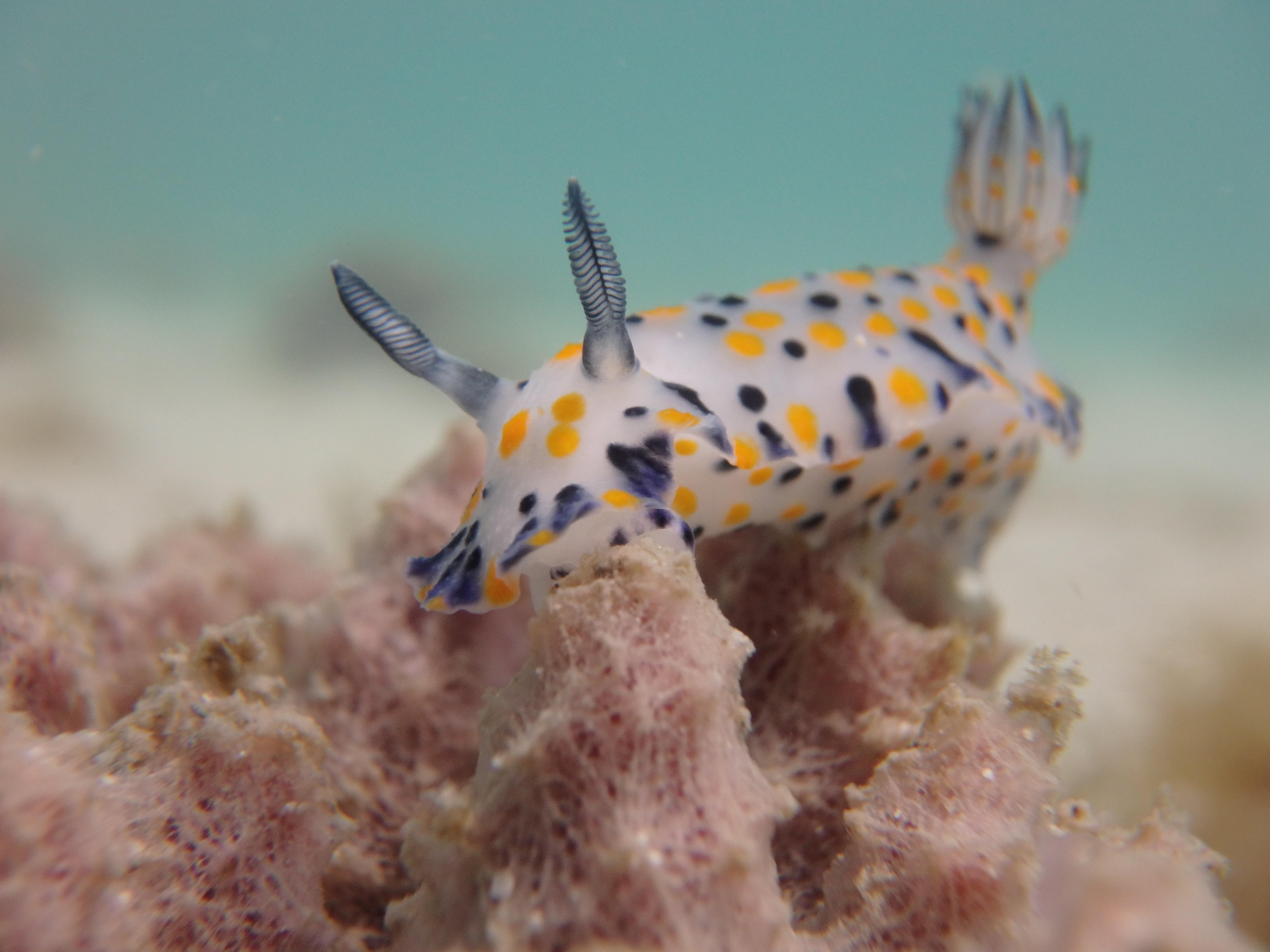 New Nudibranch species for our database