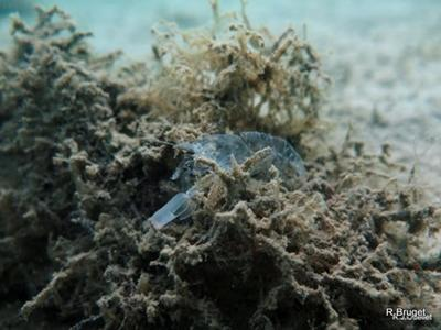 Ghost Shrimp - Callianassidae family