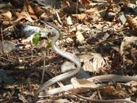 Brown Vine snake