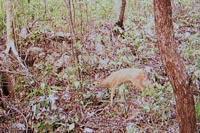 Deer caught on sensor camera