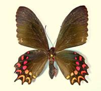 PAPILIONIDAE - Parides photinus