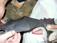 Identifying bats