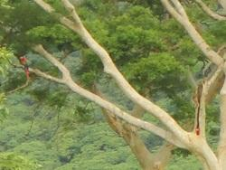 Scarlet Macaw adult and chick