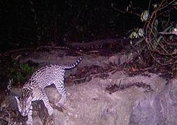 Ocelot captured by sensor camera