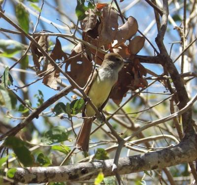 At the Projects Abroad Conservation project, a fly catcher was spotted