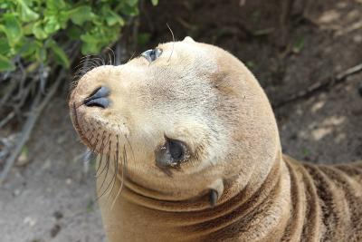 Photo of a sea lion in the conservation project in Galapagos Islands, Ecuador