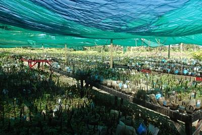Uprising beach resort mangrove nursery