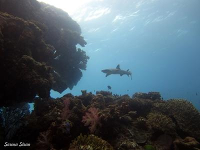 Whitetip reef shark seen during a survey dive