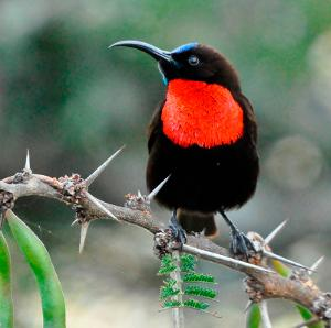 Hunter's Sunbirds