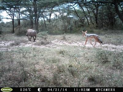 Jackal hunting Warthog babies caught on the Camera trap at the Projects Abroad Conservation project in Kenya