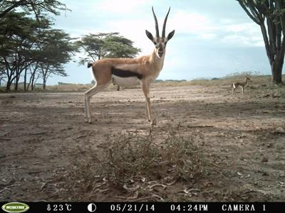 A Thomson's Gazelle on the Kenya Conservation Project with Projects Abroad
