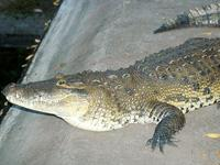 A 3 metters Crocodile at the Farm