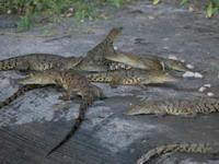 Young crocodiles