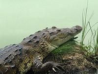 Adult crocodile