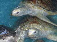 Turtles in our pools