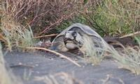 Turtle nesting at the edge of the beach