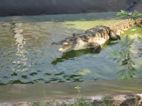 Adult crocodile