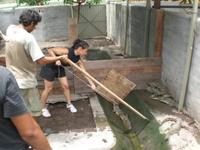Staff working with larger crocodiles