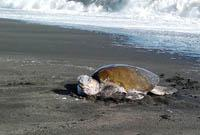 Adult Olive Ridley