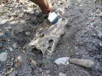 Crocoile bones