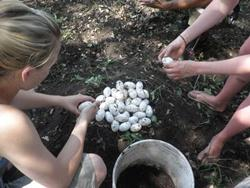 Collecting crocodile eggs