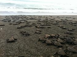 Hatchings on way to the ocean