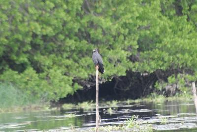 A bird of prey seen on the Projects Abroad Mexico Conservation Project Lagoon Bird Survey