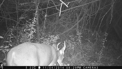 A White-tailed Deer (Odocoileus virginianus)captured on a camera trap on the Projects Abroad Conservation Project in Mexico