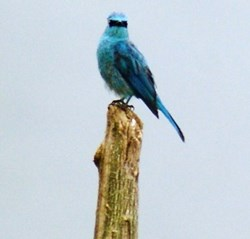 A verdieter flycatcher
