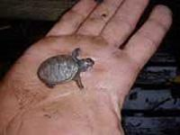 Turtle Baby