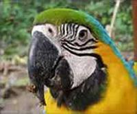 Yellow Macaw