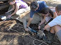 Vets Working With A Donkey