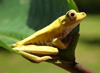 Spotted-Thighed Tree Frog