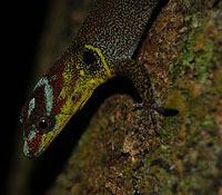 Amazonian Streak Lizard