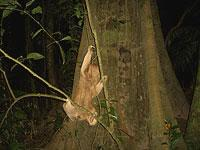 Hoffmann's Two-Toed Sloth