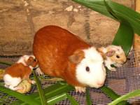 Guinea Pig With Young