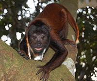 Baby Red Howler Monkey Exercising