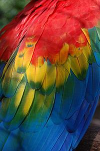 Scarlet Macaw Wing