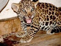 Jaguar cub with attitude