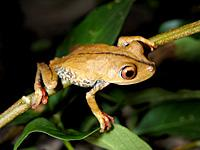 New Tree Frog Species