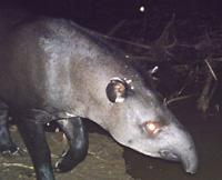 Brazilian Tapir at Anaconda Colpa