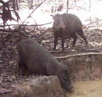 Collared Peccaries taking a drink!