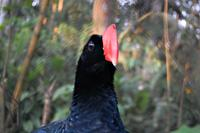 Razor-billed curassow checking out its new room mate