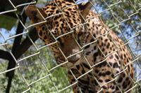 Baby jaguar!!