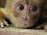 Young capuchin monkey watches work in the zoo