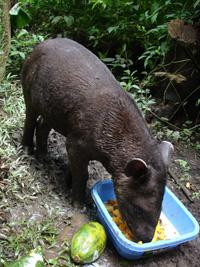 Tapir taking breakfast in its new enclosure